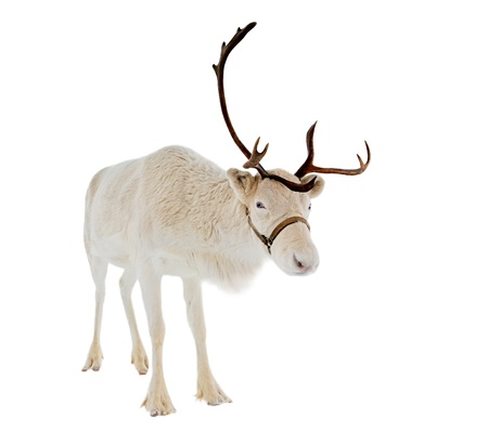 reindeer: Reindeer looking at camera isolated on white background ready to be put on any Christmas card or design