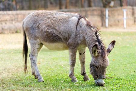 ears donkey: Burro grazing in the zoo Stock Photo