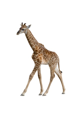 baby giraffe isolated on white background photo