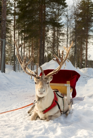 reindeer, harnessed to a sled photo
