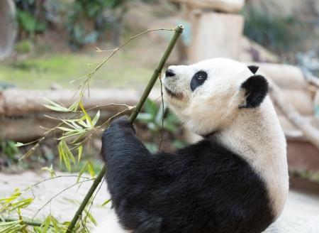 south sichuan: Portrait of giant panda bear (Ailuropoda Melanoleuca) eating bamboo