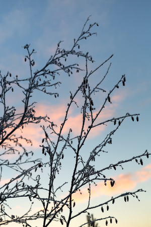 Branches with hoarfrost on a background of the sunset sky. photo