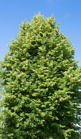 limetree: Linden tree blossoms against a blue sky.