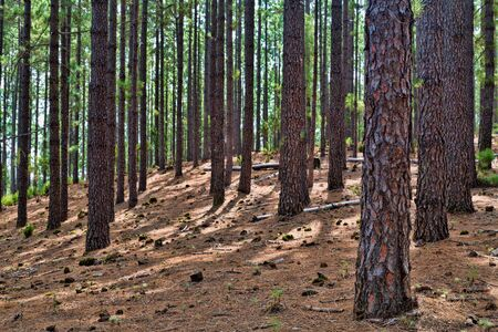 mystical forest: Coniferous forest. Tree trunks, mystical forest. Stock Photo