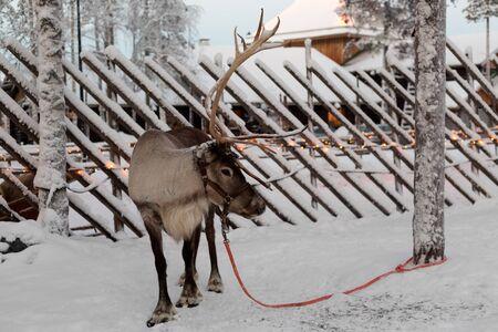 rovaniemi: Reindeer against a tree in the village of Santa Claus. Finland. Rovaniemi.