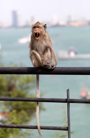 aggressively: Wild monkey sitting on the railing and growling aggressively. Stock Photo