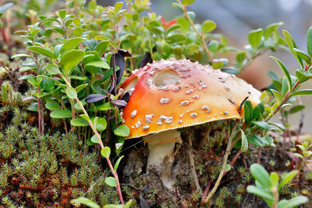 muscaria: Poisonous mushroom a fly agaric grows in the northern woods with moss