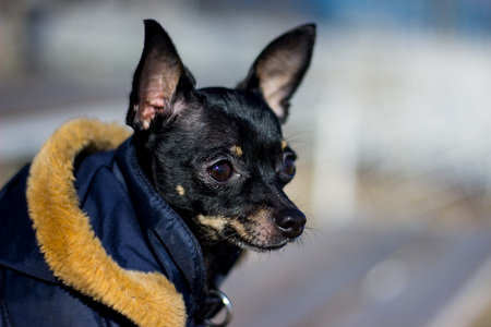 small dog jacket cold in the winter. Stock Photo