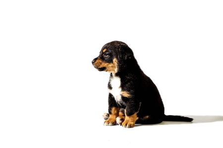 little puppy on white background Stock Photo
