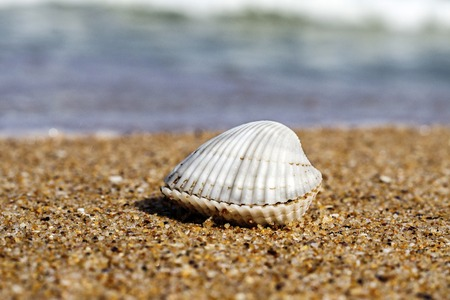 seashell on the beach of the Black Sea of Bulgaria