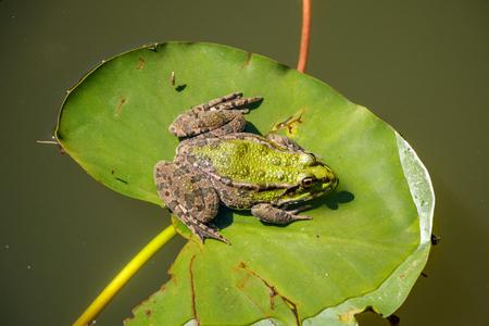 Green Frog on leaf algae