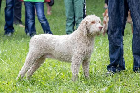 dog breeds lagotto Imagens