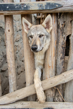 Wolfhound dog behind a wooden fence in captivity Imagens