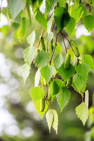 spring green leaves on birch tree branches