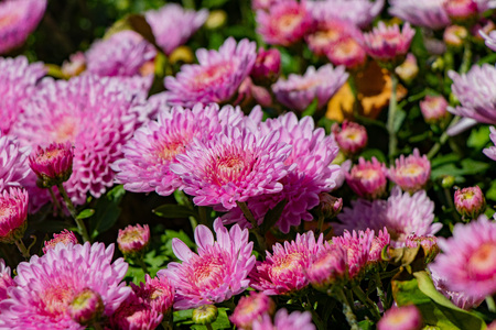 beautiful lilac chrysanthemum flowers with green leaves
