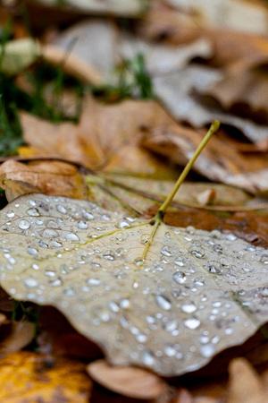 raindrops on fallen yellow leaves in autumn park