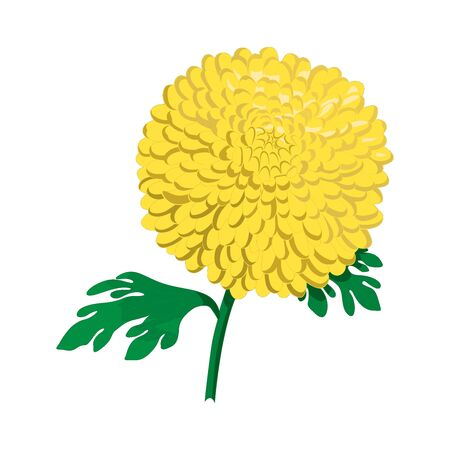 Yellow chrysanthemums with green leaves on a white background. Autumn flowers. Vector illustration
