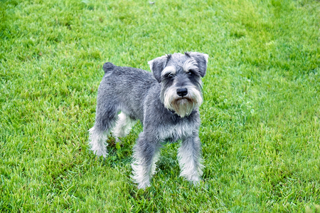 Schnauzer stands in the grass