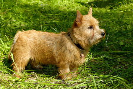 Norwich Terrier puppy in the grass in summer outdoor background Stock fotó