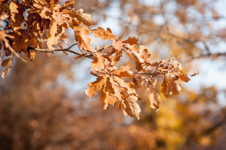 autumn leaves falling: Autumn leaves falling down. Close-up photo with focus on the leaf.