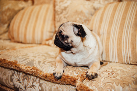 expressive face: Pug on a couch with an expressive face looking at the camera .