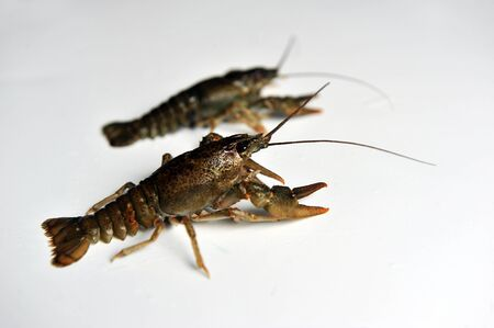 fluvial: two Crayfish on a white background. Crayfish isolated on white