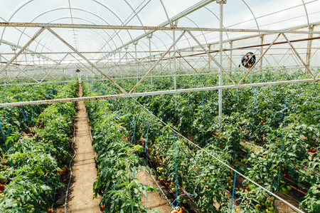 polycarbonate: Red and green selected tomatoes in a greenhouse