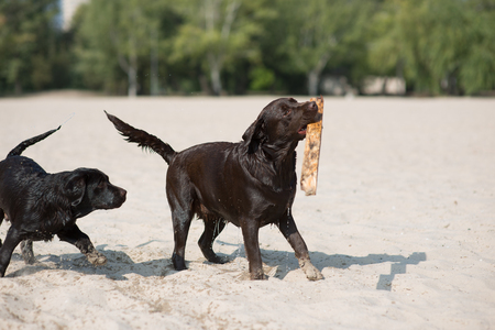 two brown labradors play on the sand