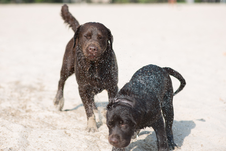 two brown labradoras from the nursery playing on the sand with a wooden stick