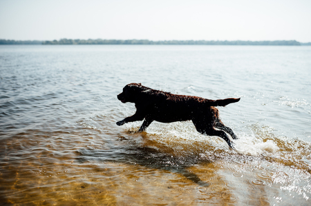 cheerful brown labrador play in water. summer day