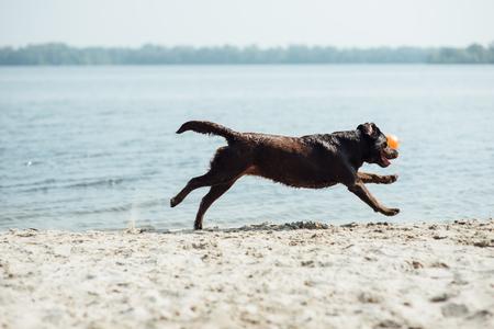 cheerful brown labrador runs through the sand. summer day