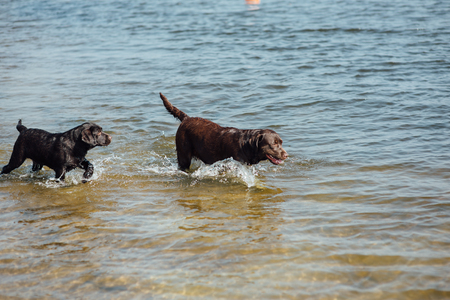 two cheerful brown labradors play in water Stock Photo
