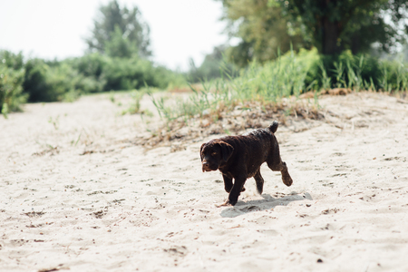 cheerful brown labrador runs through the sand Stock Photo