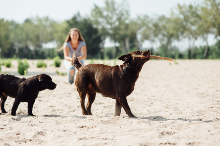 cheerful brown labrador. summer day Stock Photo