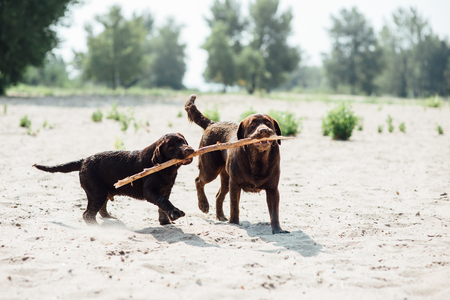 cheerful brown labrador runs through the sand. summer day