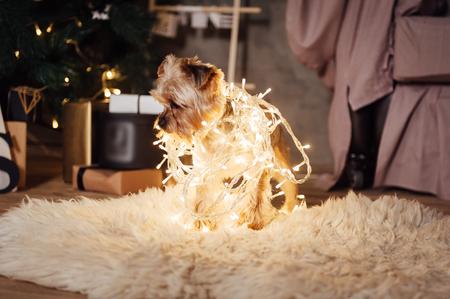 Yorkshire Terrier sitting in garland lights