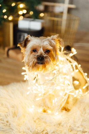Yorkshire Terrier sitting in garland lights