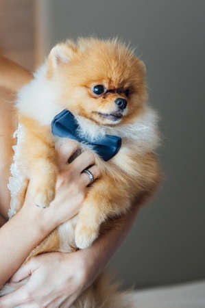 Spitz dog with a blue bow tie sits in the arms of the bride in a wedding dress