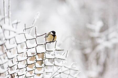 chainlink fence: bird sitting on a chain-link fence in winter snow
