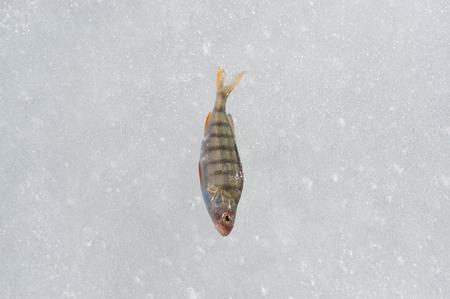 fish in ice: fish ice cold winter fishing lake food