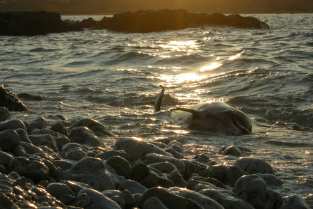 beached: dead dolphin lies on the rocky shore at sunset