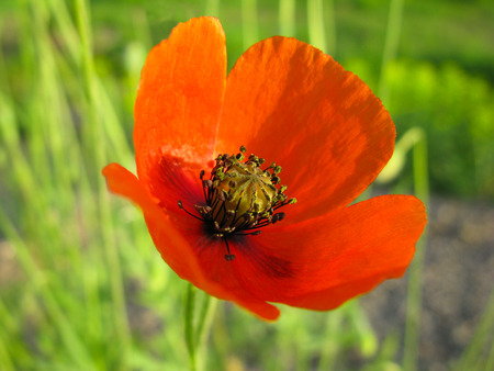 florescence: flower Poppy, springtime, Scarlet blooming, Closeup, season, florescence