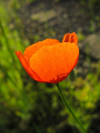 florescence: Poppy flower   springtime Scarlet blooming Closeup, season, florescence