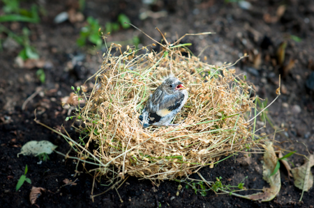 lonely little chick in the nest which lies on the ground Stock Photo