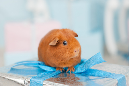 one funny guinea brown pig sitting on wrapped gift silver box