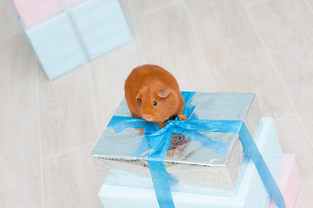 one brown guinea pig sitting on silver wrapped gift box in holiday
