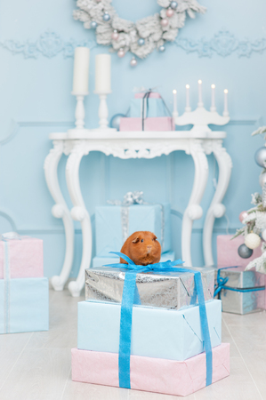 sweet brown pet guinea pig sitting on gift boxes in blue merry christmas decoration
