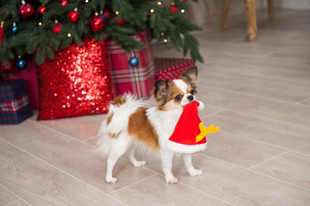 funny little chihuahua pet dog holding santa hat in mouth in beautiful christmas decor