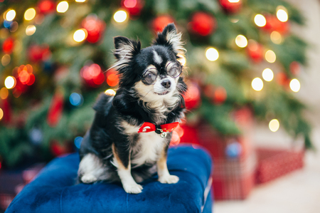funny small cute pet chihuahua dog in glasses and bowtie on christmas decoration