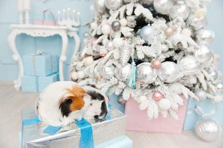 two sweet longhaired guinea pigs sitting on boxes with new year gift in christmas decoration